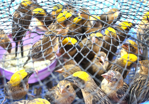 Lucky bird vendors ruffle some feathers | The Myanmar Times