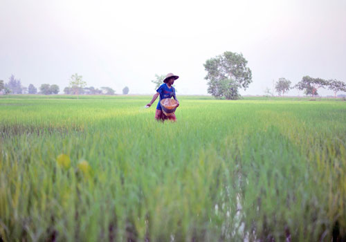 A farmer sprinkles fertiliser on his rice field in Bago Region on February 20. Photo: AFP