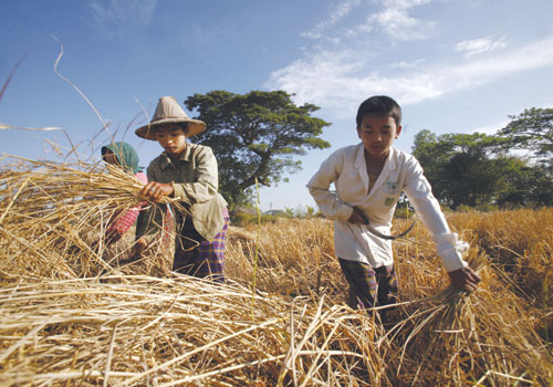 Farmers harvest paddy at a field in Twante township in Yangon Region. Photo: AFP