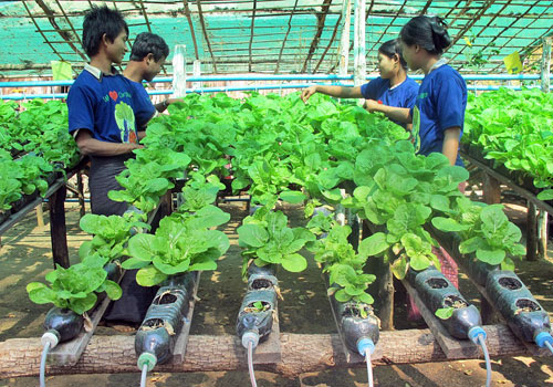 Vegetables are grown using hydroponic techniques in a green house in Magwe Region. (Kyay Mone Win/The Myanmar Times)