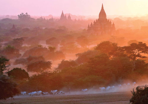 Cattle are escorted past an ancient pagoda at Bagan. Photo: AFP
