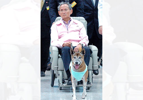 Thai King Bhumibol Adulyadej holds the leash of his dog while sitting in a wheelchair at a hospital in Bangkok on February 27, 2010. Photo: AFP
