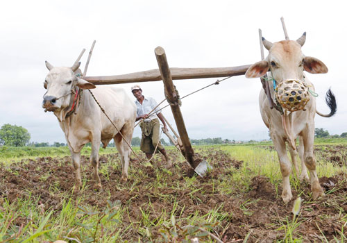 Farmers plough the land with cows in Nay Pyi Taw. Photo: EPA