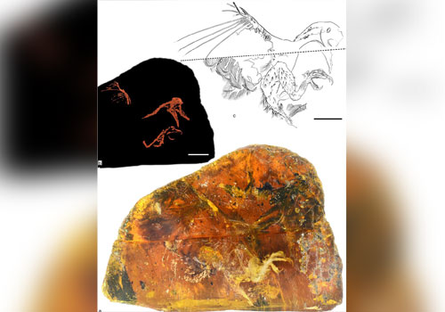 The amber specimen (a), an X-ray reconstruction (b) and an illustration of the fossil (c). Photo - Gondwada Research/Chinese Academy of Sciences
