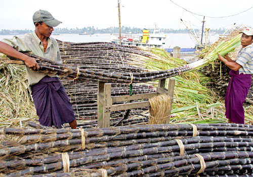 Workers harvest sugarcane at Kyimyindaing. There is currently an oversupply of sugar in Myanmar. The Myanmar Times