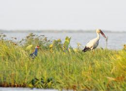 An Asian openbill stork (right) and a purple swamphen (left) rest at Moe Yun Gyi wildlife sanctuary and wetlands resort in Bago Region in this 2017 file photo. Photo - EPA