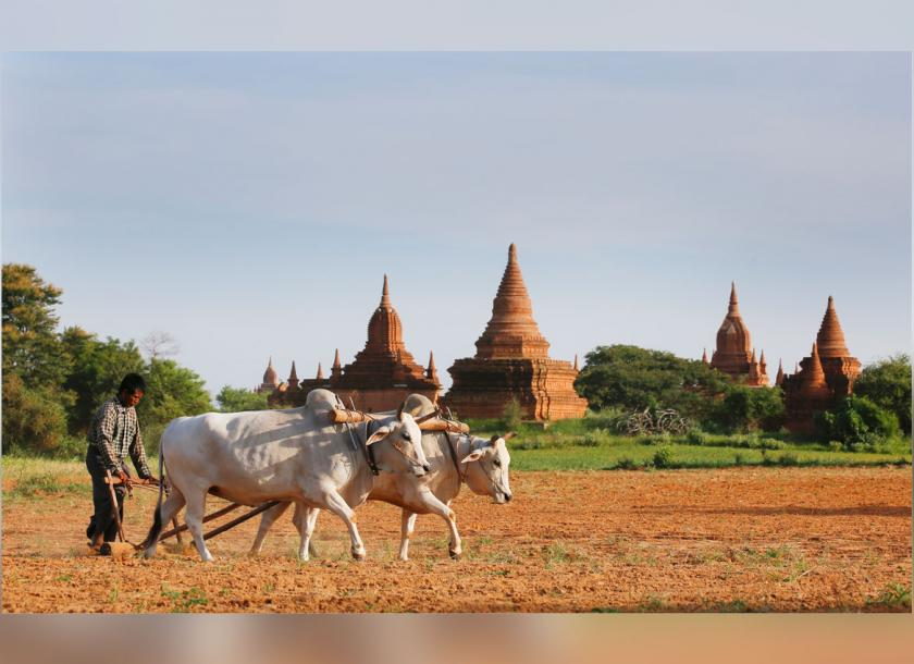 A Myanmar man uses cows to plough a field near temples in Bagan. Photo: EPA