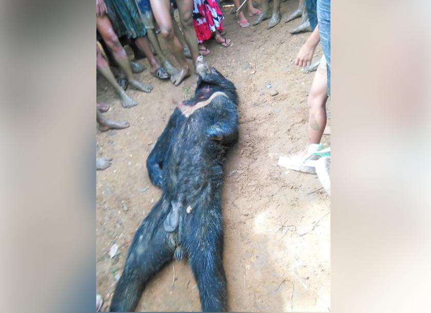 bear dies after wandering into magwe village the myanmar times