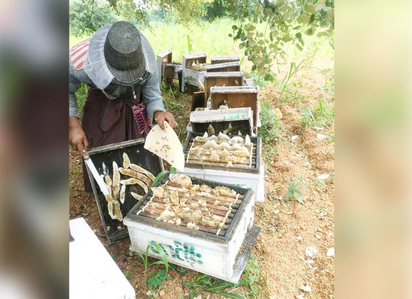 A local beekeeper collects honey from honeycombs. Photo - Supplied