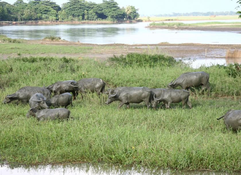 In trade war with US, China may import Myanmar cattle | The
