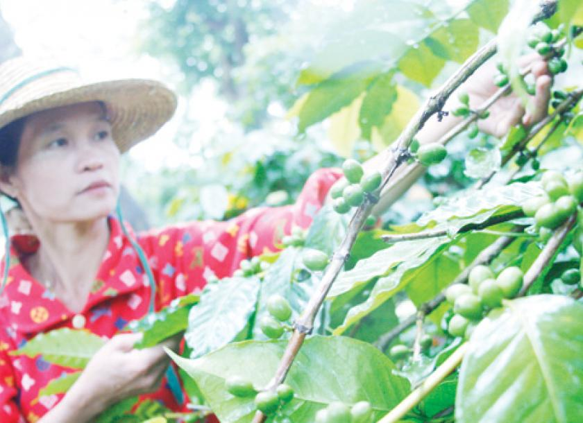 Myanmar coffee gains market share amid rising demand from first a worker gathers coffee crops at the green land coffee plantation in pyin oo lwin thecheapjerseys Gallery