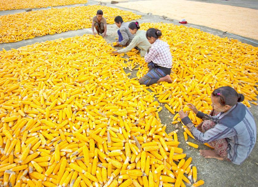 "Commerce ministry in Myanmar says corn exports ""very promising ..."