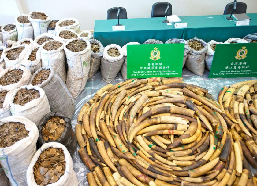 A huge haul of elephant tusks and pangolin scales are displayed at Hong Kong Customs after being seized in transit from Nigeria to Vietnam. Myanmar has become a major transit point for the illegal wildlife trade in Southeast Asia, the UN Office on Drugs and Crime says. Photo - EPA