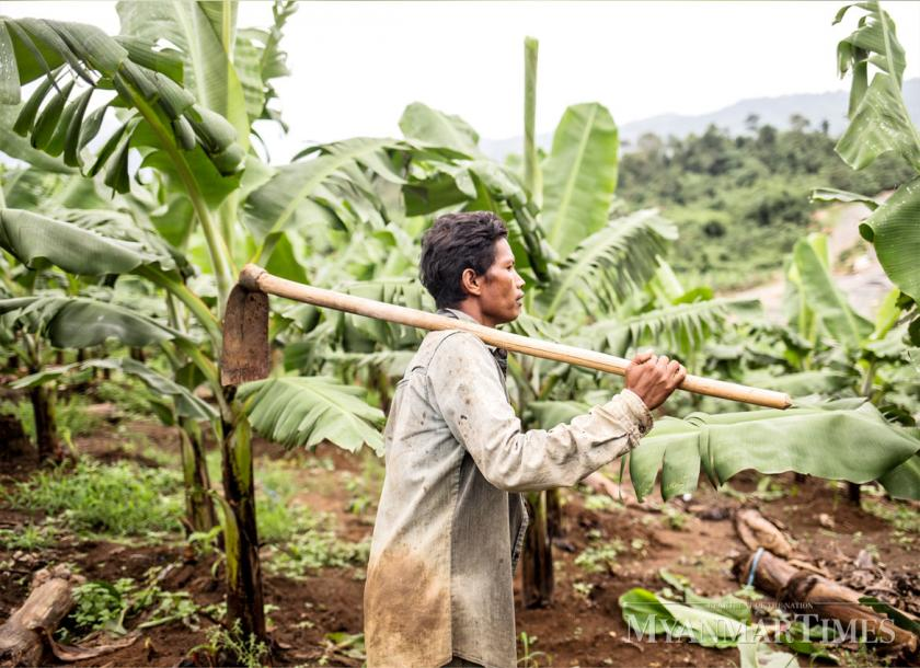 A worker walks in a banana farm in Kachin State. Zarni Phyo/The Myanmar Times