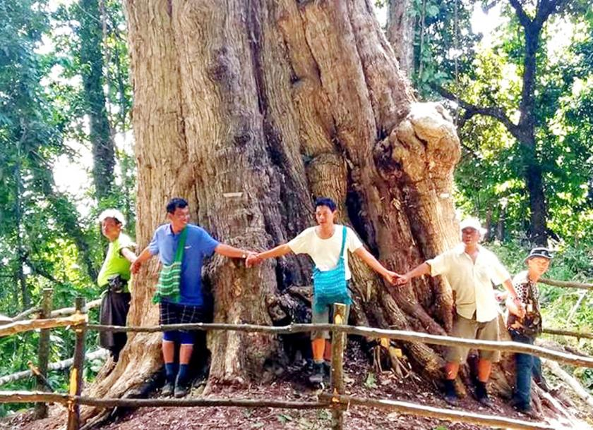 Sagaing Region May Be Home To World S Largest Teak Tree