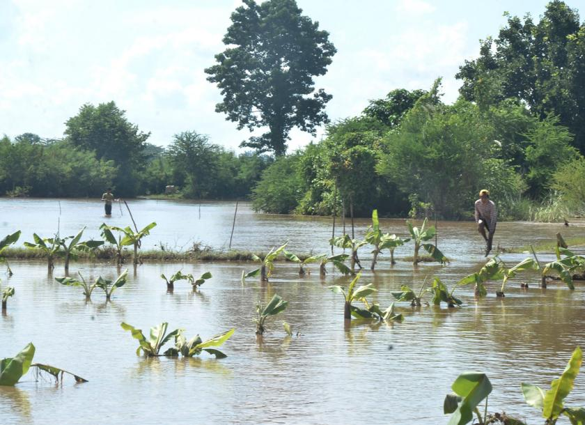 A banana plantation that was submerged in the flood. Kyaw Ko Ko/The Myanmar Times