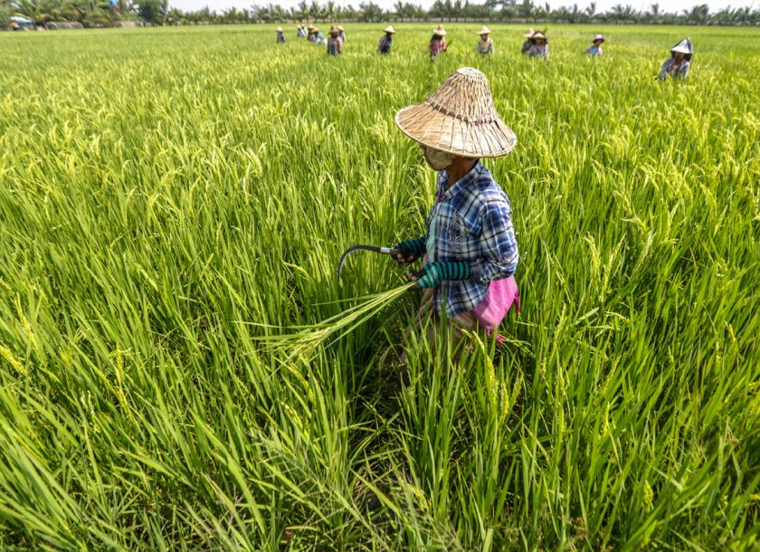 Farmers at work in the paddy fields. Photo - EPA